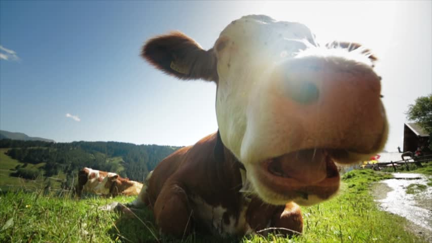 Cow Close Up Alpine Landmark