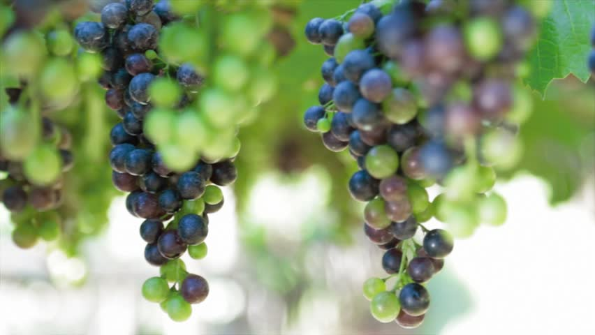 Grapes hanging of the vineyard