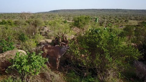 Kudu. Aerial drone 4K footage of kudu antelope in East Africa