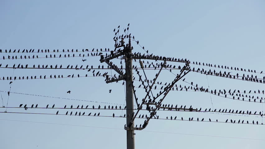 large flock of birds on a electrical wire rh shutterstock com Types of Electrical Wire Copper Electrical Wire