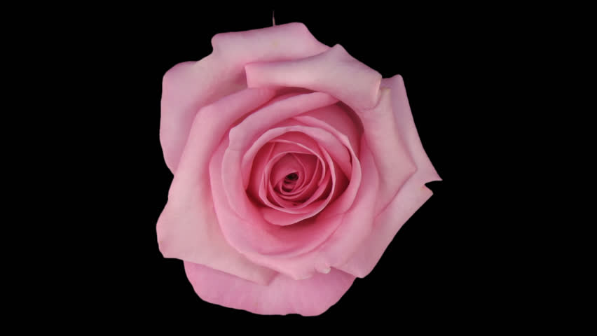 "Time-lapse of dying pink ""Blushing Akito"" rose 7a in PNG+ format with alpha transparency channel isolated on black background, top view."