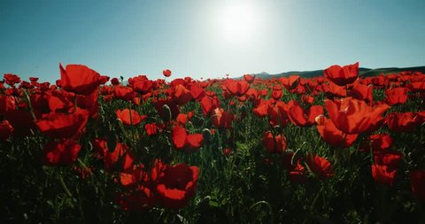 running in a field of red poppies in the highlands, spring, Sunny day, slow motion, POV