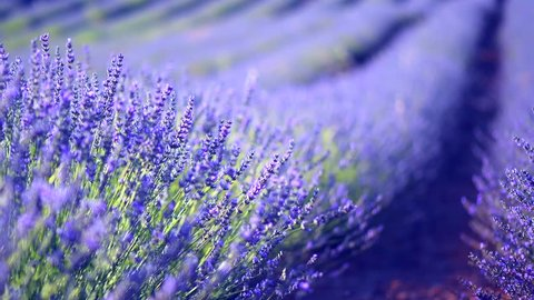 Lavender field in Provence, France. Blooming Violet fragrant lavender flowers. Growing Lavender flower swaying on wind, harvest. 4K UHD video 3840x2160