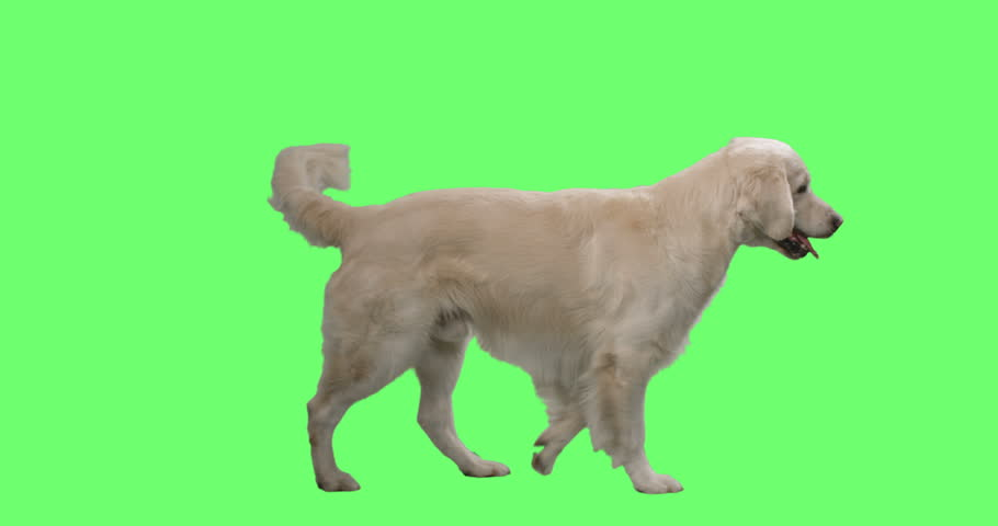 Happy Labrador Retriever Wags His Tail and Walks on a Mock-up Green Screen Background. Shot on RED Cinema Camera in 4K (UHD).