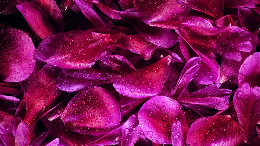 4K closeup rotation of beautiful purple petals of peony flower covering by water drops with rising light. Top view.