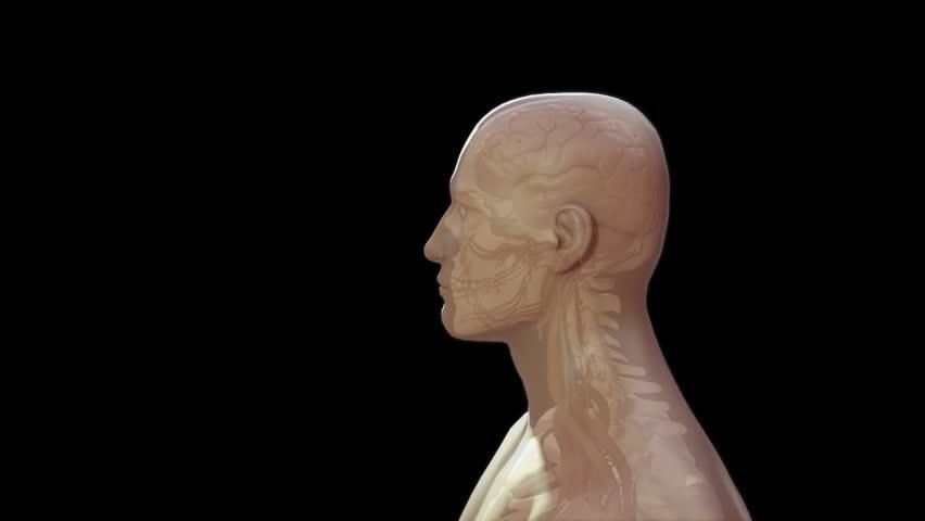 Human Body Showing Gross Anatomy Video De Stock Totalmente Libre De