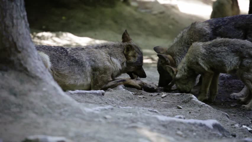 wolf pack eating meat (shallow DOF)