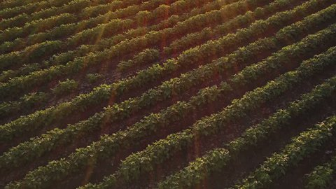 Aerial view of cultivated agricultural soybean field, drone pov