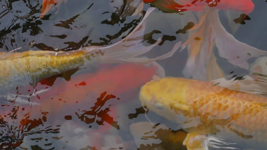 Koi fish fancy carp fish swimming in the pond top view Koi fish swimming pool