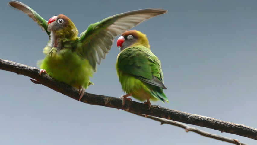 BLACK-CHEEKED LOVEBIRD (AGAPORNIS NIGRIGENIS). Couple of parrots on a branch, while they move and relate.  | Shutterstock HD Video #28707313