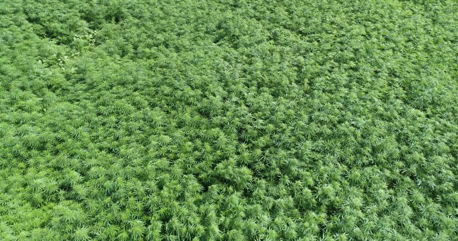 Marijuana field blows in slow motion.
