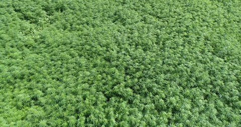 Marijuana field blows in slow motion.
