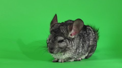 Gray chinchilla washed and licked muzzle, slow motion. Green screen