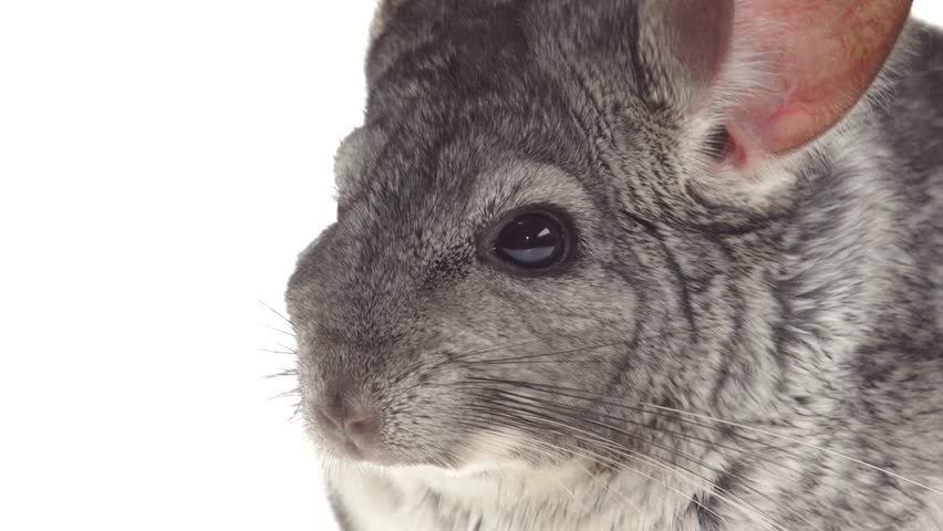 Closeup of Gray Chinchillas Eat Stock Footage Video (100% Royalty-free)  28748227 | Shutterstock