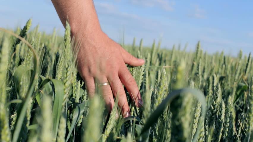 Hands of farmer in wheat field gently touching wheat ears | Shutterstock HD Video #28767067
