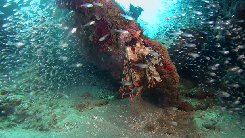 Red lionfish near school of glassfish in the cave - Abu Dabab, Marsa Alam, Red Sea, Egypt, Africa | Shutterstock HD Video #28787887