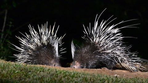 Malayan porcupine (Hystrix brachyura) in nature at night time