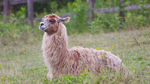 domectic lama alpaca lying down in field wool agriculture farming country