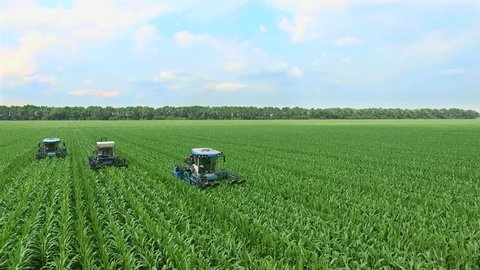 Young shoots of corn on the field in rows, a farm for growing corn, agriculture tractors parse, remove lateral young shoots of corn, increasing the yield of the cornfield.aerial video