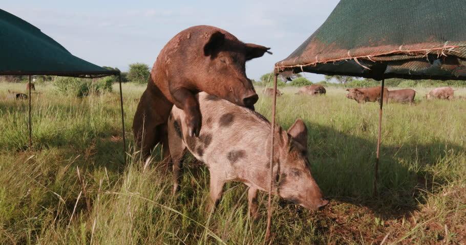 Free range pig mating