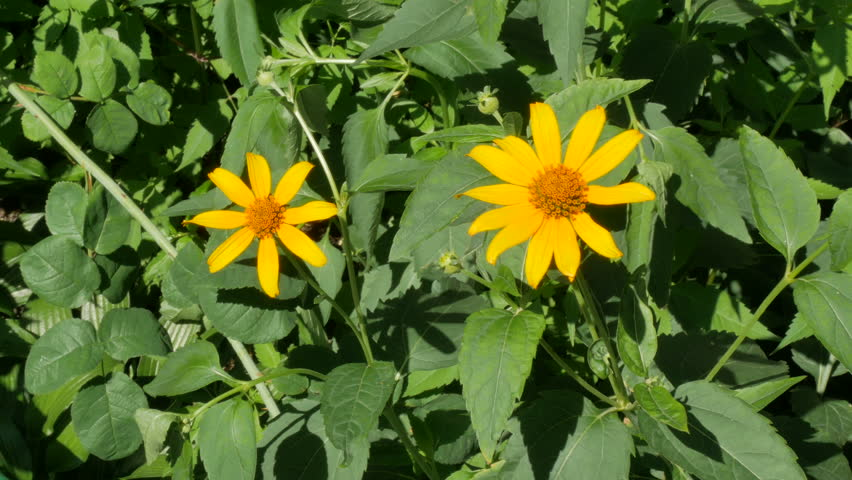 Header of doronicum
