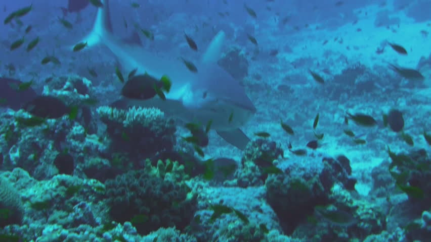 group of gray reef sharks, Red Sea
