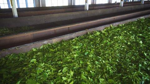 Huge pile of tea leaves. spread out on a drying table inside a factory in Nuwara Eliya, Sri Lanka. 4k footage