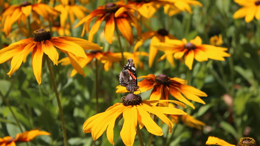 Red Admiral (Vanessa atalanta) butterfly collects nectar