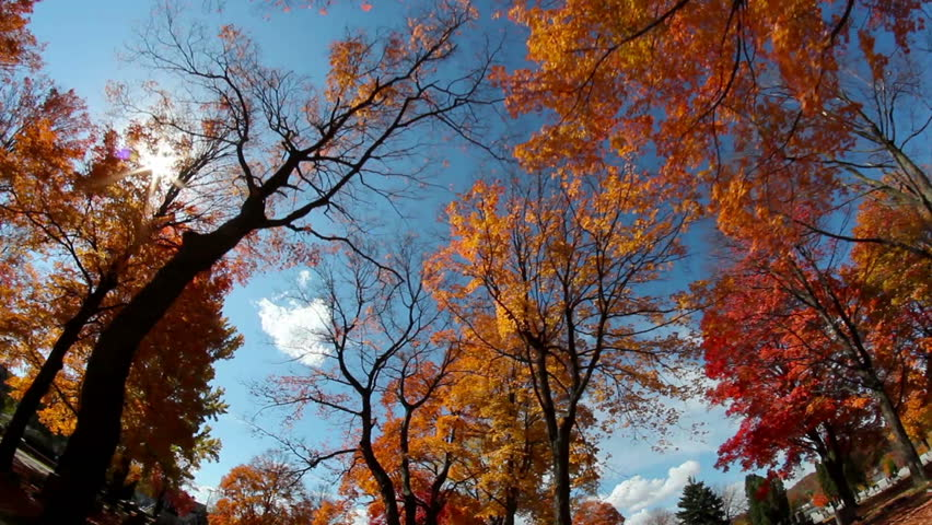 Looking up at the tall colorful trees on a sunny day during the peak of Autumn.