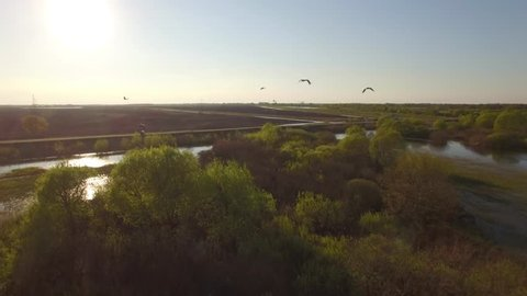 Storks flight close followed by drone copter at lake water in swampy bush area real aerial video 4k. Flock of birds fly above spring flooded river - seasonal migration birdwatching