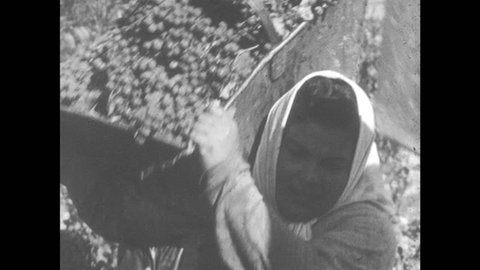 1950s: ARGENTINA: workers pick grapes in Mendoza. Lady carries grapes on shoulder. Workers unload grapes. Traffic on Mendoza streets. Tree lined road