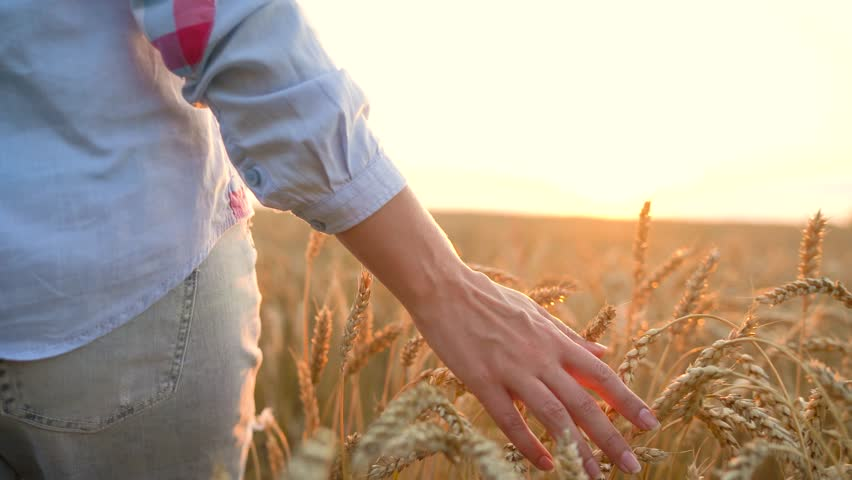 Female hand touching wheat on the field in a sunset light #29254867