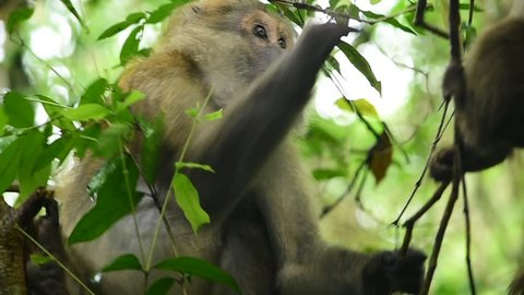 Assam macaque,monkey