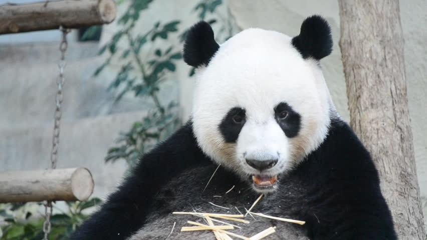cute panda bear eating carrot