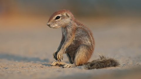 Sleepy ground squirrel (Xerus inaurus) sitting on its haunches, Kalahari desert, South Africa
