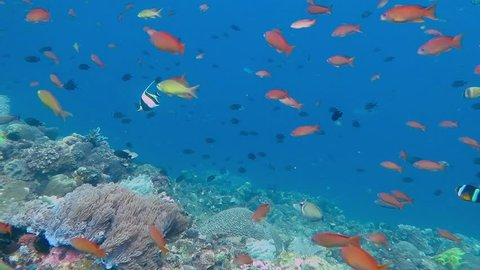 Coral reef with school of colorful small fish - anthias, damselfish. Coral in shallow blue water with fish soup captured during scuba diving.