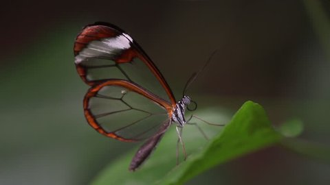 The Glasswinged Butterfly Stock Video Footage 4k And Hd Video