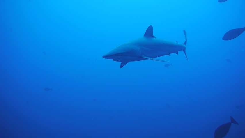 Silky shark, red sea | Shutterstock HD Video #2945170