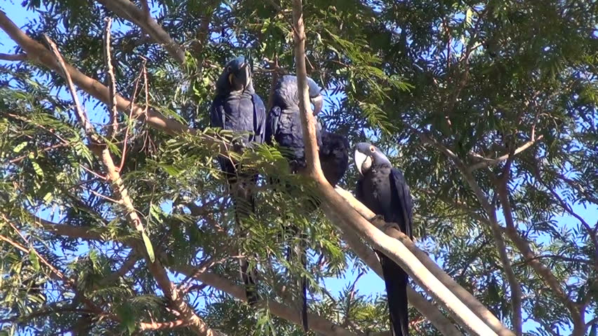 Group of three Hyacinth macaws cleaning their feathers, Pantanal wetlands, Brazil.