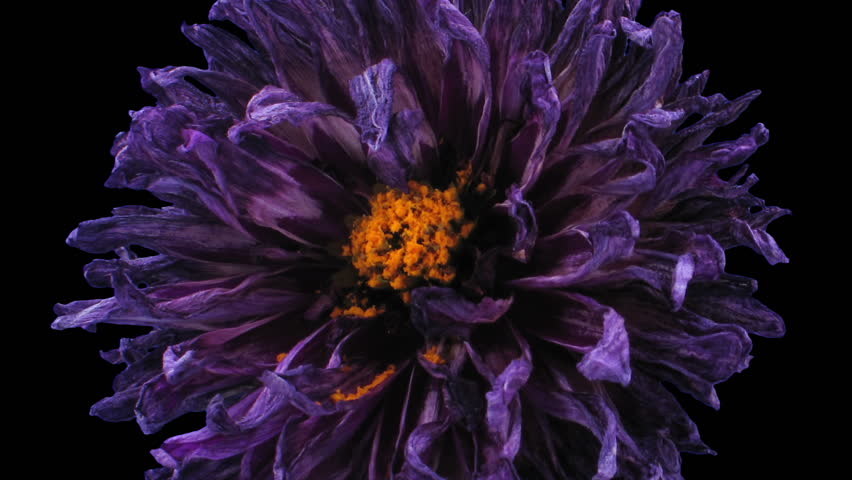 Time-lapse of dying purple dahlia flower 6a3 in RGB + ALPHA matte format isolated on black background