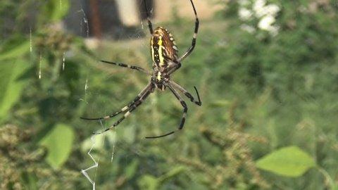 Spider Argiope Lobata Insect Macro Stockvideos Filmmaterial 100
