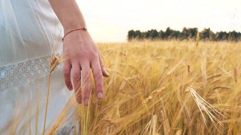 Woman's hand running through wheat field. Girl's hand touching wheat ears closeup.