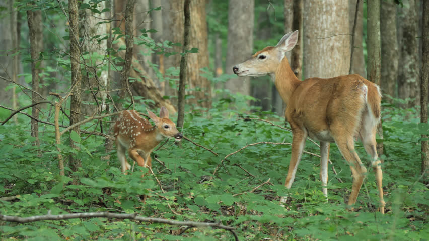A beautiful shot of a fawn and a mother deer nuzzling each other in a special bonding moment in the woods and forests of Mammoth Cave National Park in Kentucky during the spring and summer seasons.