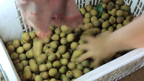 Hand of farmers choose the size of longan from longan separator machine for  packing longan in the basket  work in night time with white neon lighting