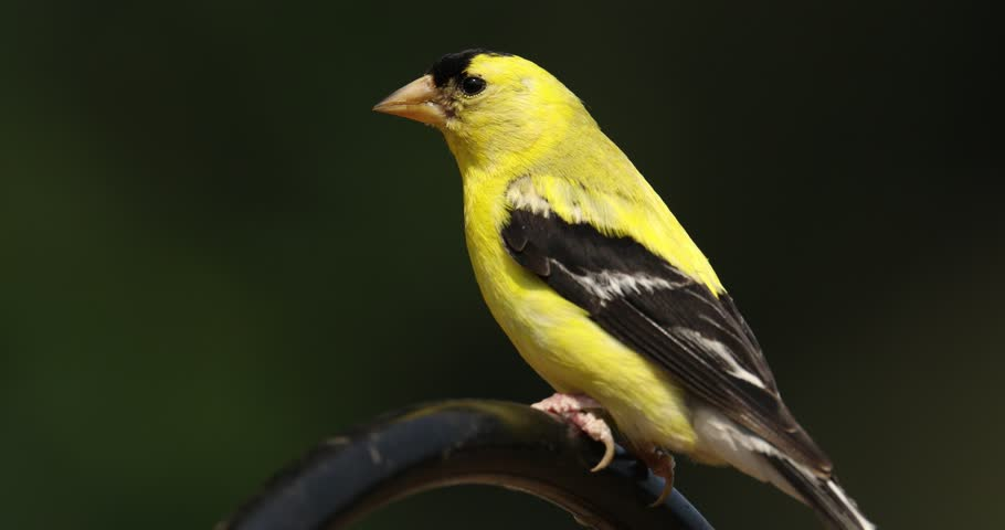goldfinch 4k