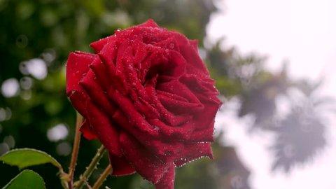 A beautiful red rose in the rain.