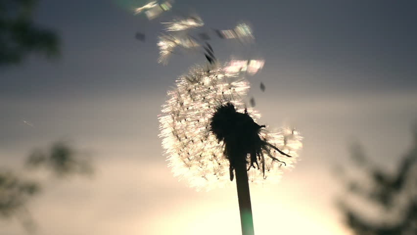 Amazing single sunny dandelion, blowing by the wind on blue sky background in sunrise back-light. Excellent romantic scene close up in vibrant slow motion in full HD. Shooting with high-speed camera.