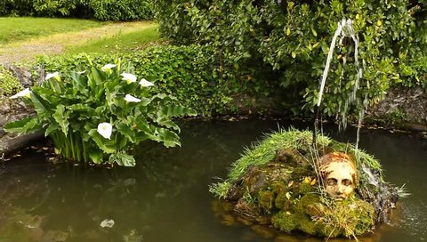 the acquatic white calla lily known as zantedeschia aethiopica callas /an acquatic white calla flourished in a pond with side by side a fountain that zippers