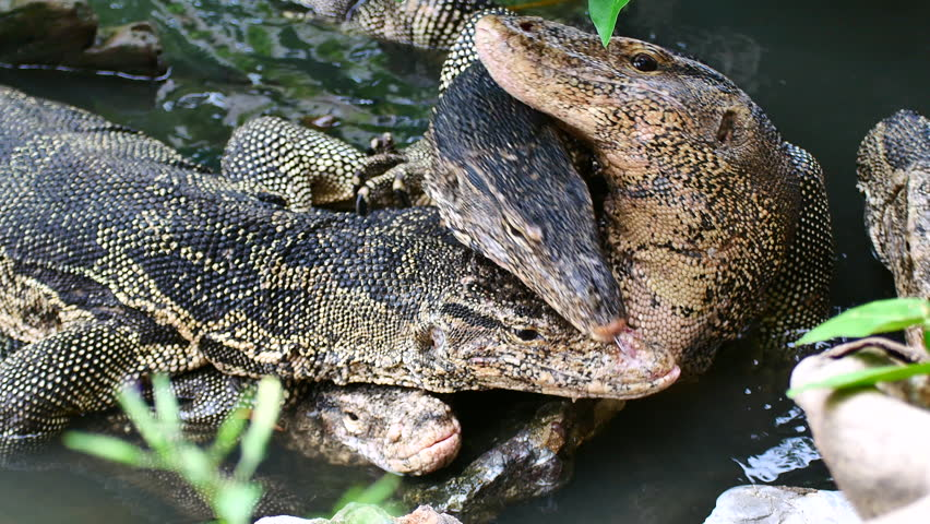 Close up monitor lizard mating in the water.