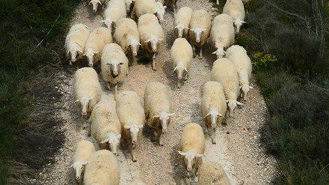 Herd of sheep, Navarra, Spain, Europe